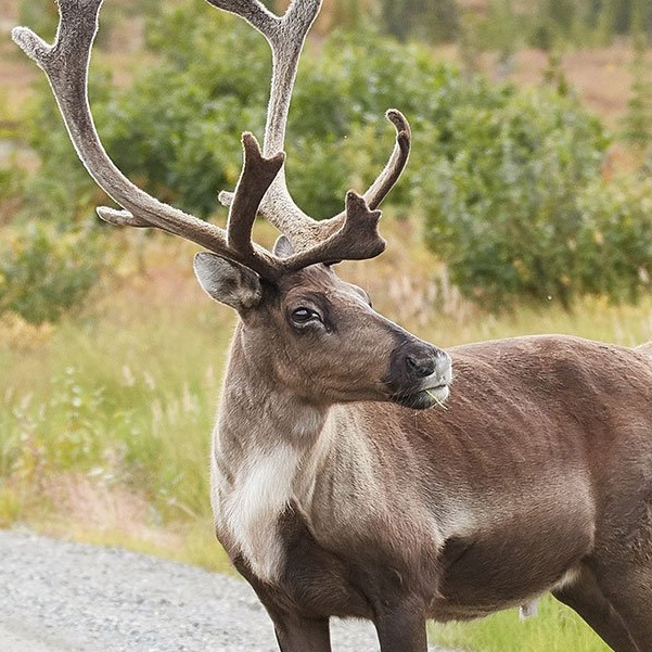 The commonly cited names of the eight fictional reindeer are Dancer
